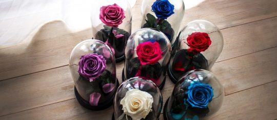 rose éternelle sous cloche